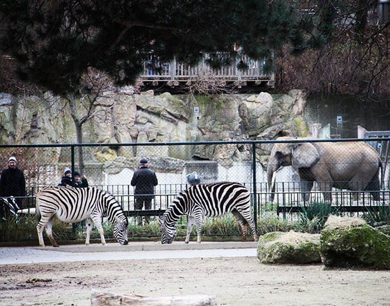 Anormalday Zebra Elephant Tiergarten Tiergartenschonbrunn