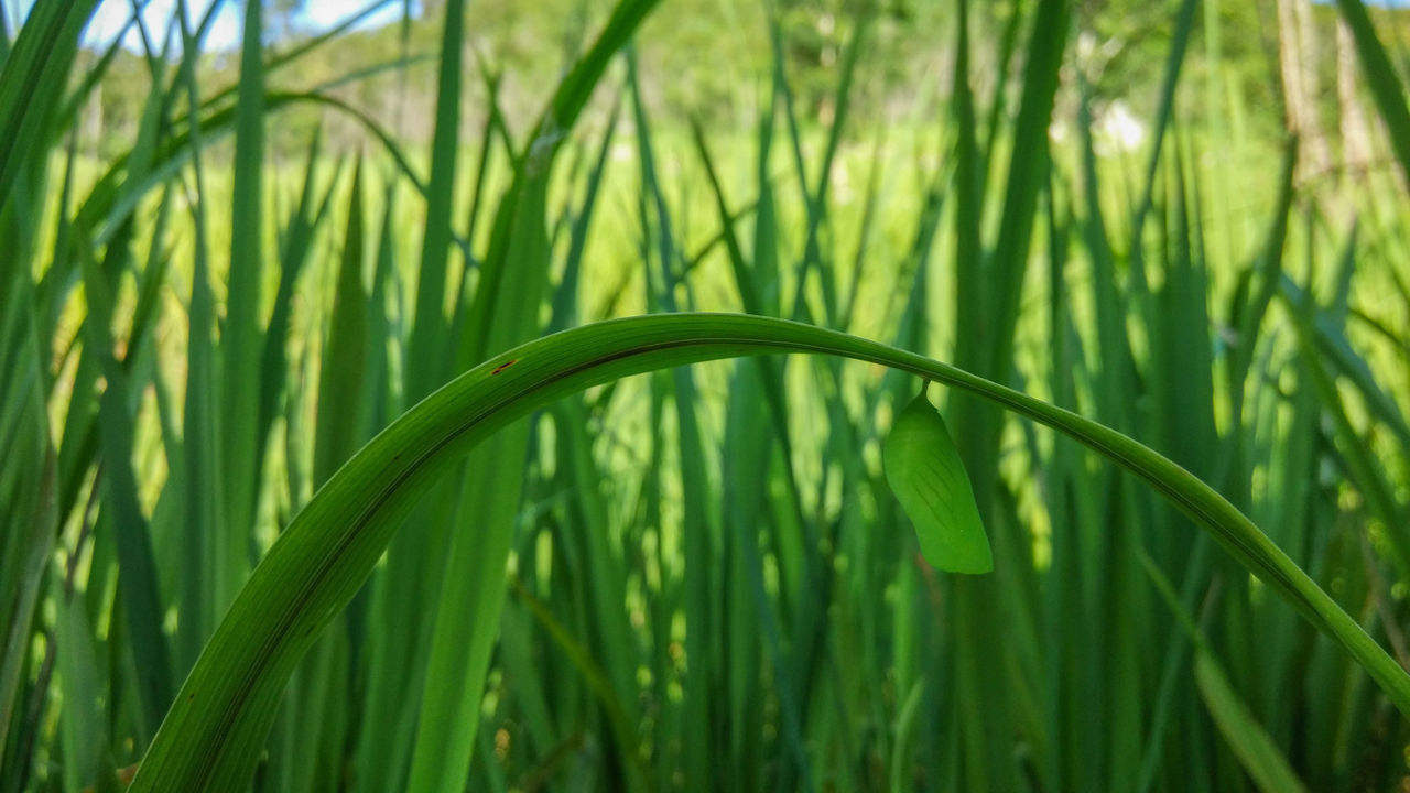 cocoon Beauty In Nature Blade Of Grass Close-up Cocoon Day Fragility Freshness Grass Green Color Growth Nature No People Outdoors Plant Rice Paddy