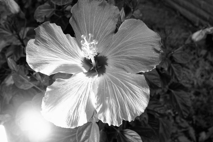 Visual Journal July 2017 Fairbury, Nebraska B&W Collection Camera Work Everyday Lives EyeEm Best Shots FUJIFILM X100S MidWest Nebraska Rural America Storytelling Visual Journal Always Taking Photos B&w Flowers Beauty In Nature Blooming Close-up Day Eye For Photography Flower Flower Head Fragility Freshness Growth Hibiscus My Neighborhood Nature No People Outdoors Petal Photo Diary Plant Small Town Stories
