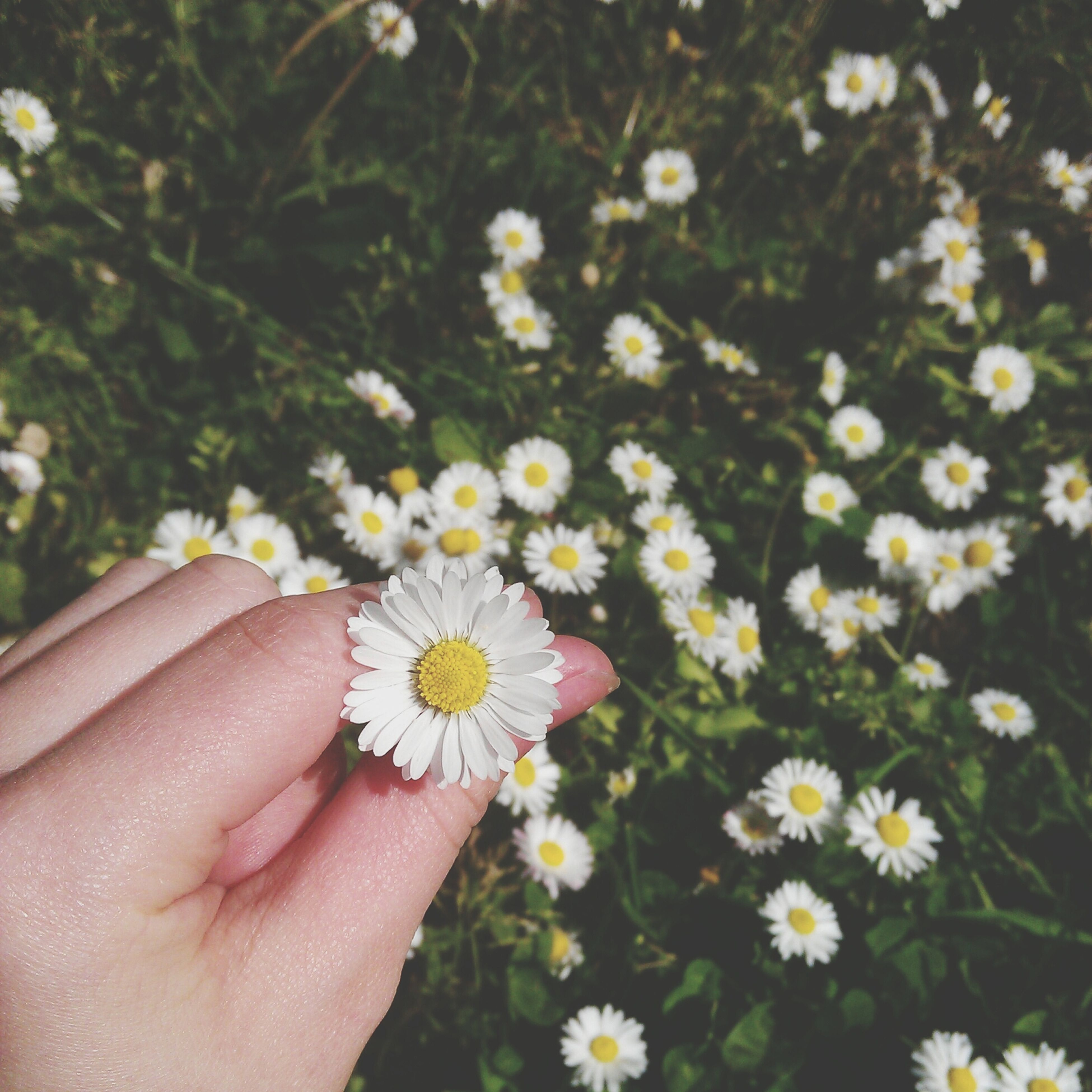person, flower, holding, freshness, fragility, part of, flower head, petal, personal perspective, daisy, human finger, cropped, unrecognizable person, white color, focus on foreground, pollen, beauty in nature