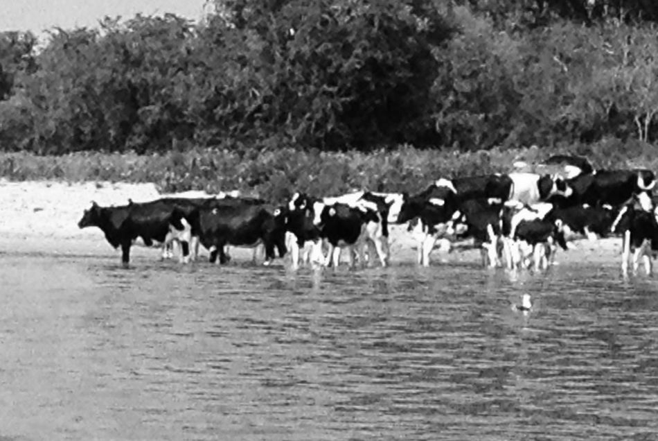 Dutch cows. Hot day. Water.
