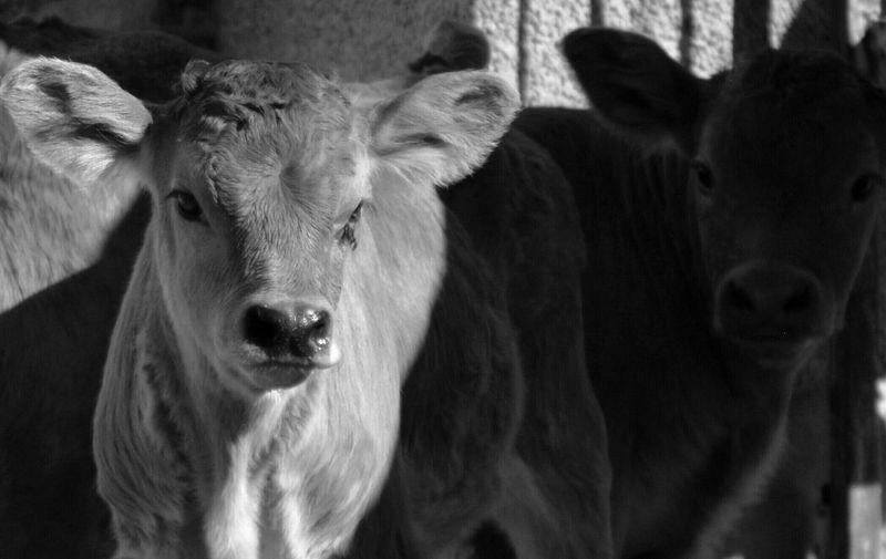 BNW_farm_animals Bnw_friday_eyeemchallenge Farm Animals Cows Light And Shadow Nikon D5200 Farm Life Young Animal Focus On Foreground Animal Photography Bolotana Bnw_collection