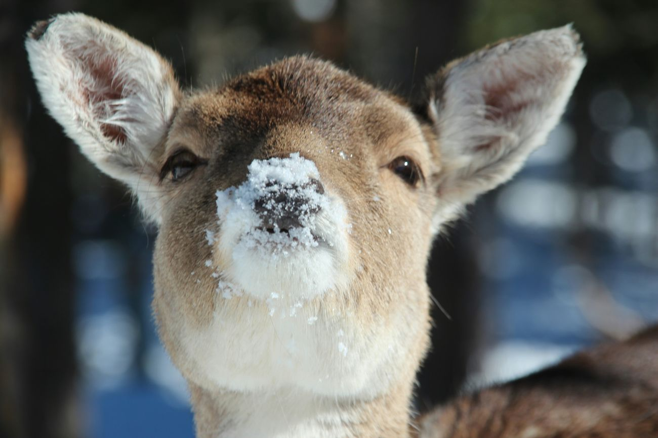 A suede is makkng a snowed duckface Snow ❄ Suède Duckface Animal Nature