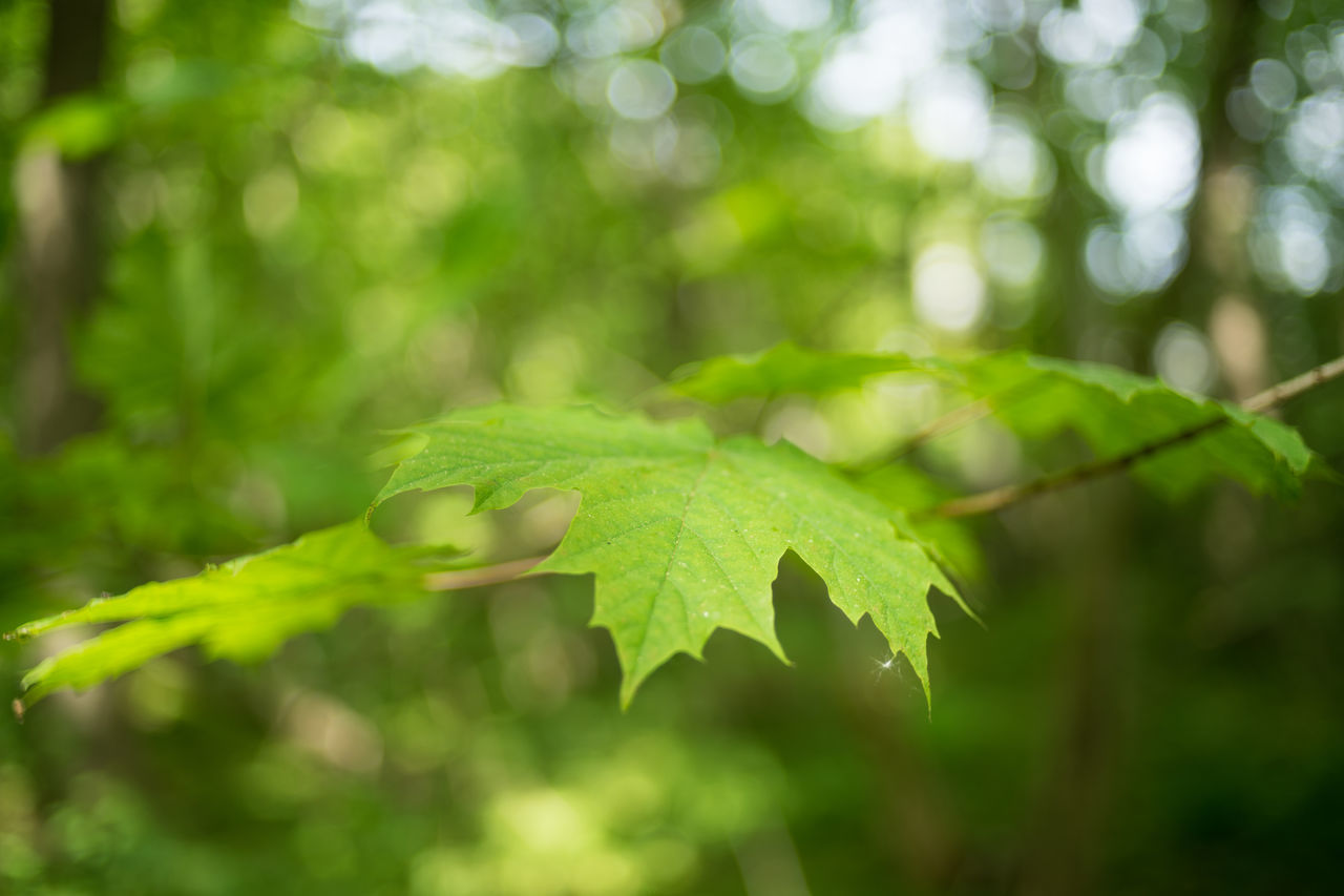 Maple 35mm Forest Green Green Color Growth Lønnetre Maple Maple Leaf Maple Tree Nature Shallow Depth Of Field Woods
