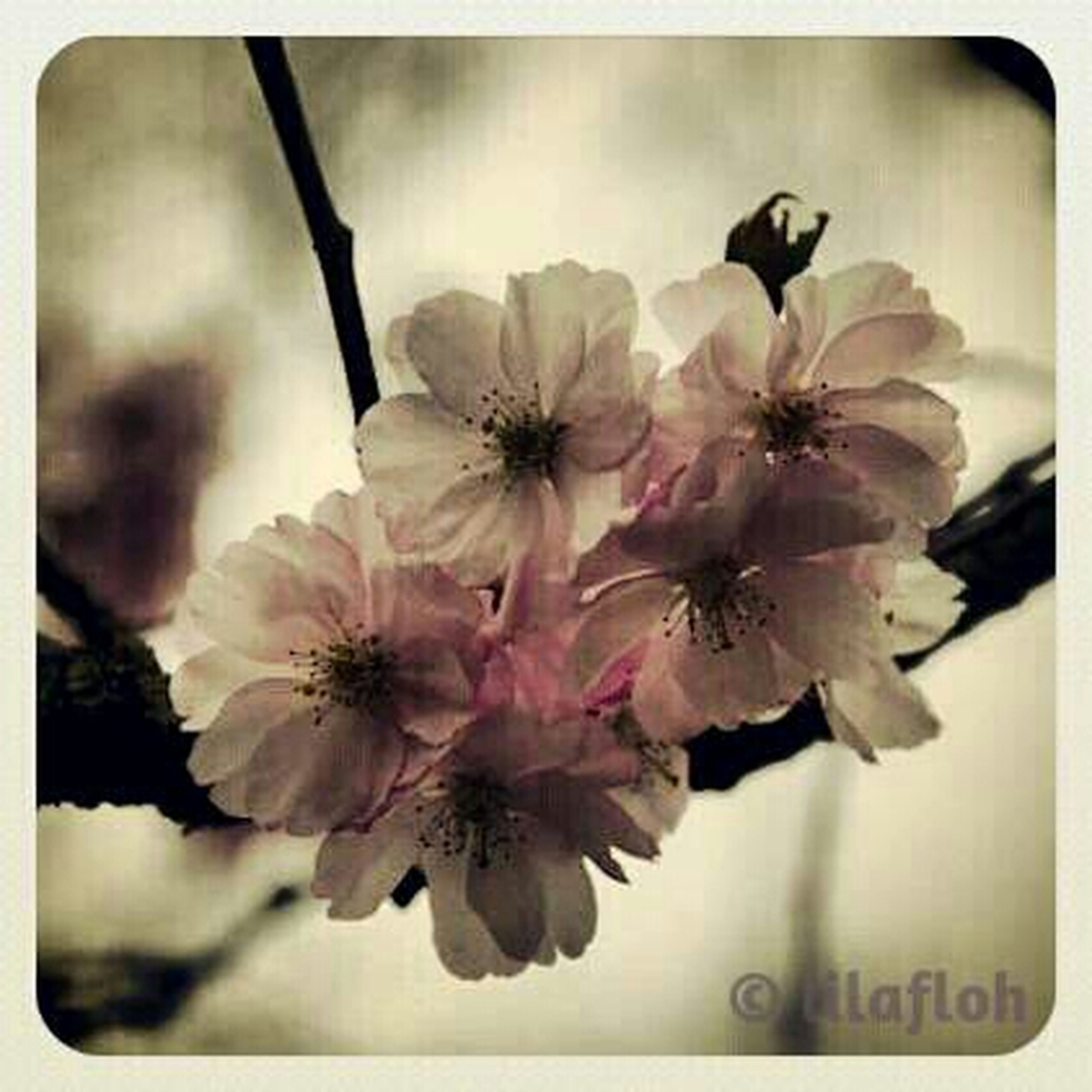 flower, freshness, fragility, petal, transfer print, growth, flower head, beauty in nature, auto post production filter, close-up, nature, blossom, in bloom, blooming, focus on foreground, stamen, white color, cherry blossom, branch, springtime