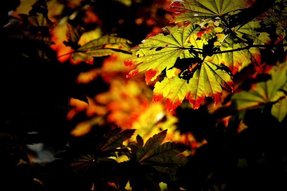 Osaka, Japan Leaf Autumn Nature Green Color Beauty In Nature Tree Growth Outdoors No People Scenics Branch Forest Day Maple Leaf Beauty Multi Colored Close-up 箕面 紅葉 EyeEmNewHere