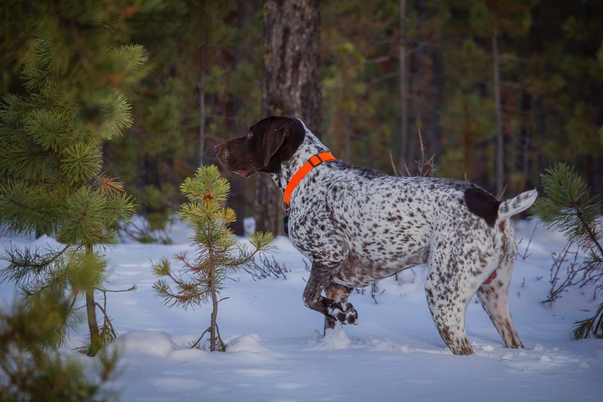 My Pup! Mammal Dog Pets Nature Tree Outdoors Fresh On Eyeem  No People Snow Colorado Colorado Photography Coloradophotographer One Animal Animal Themes Upland Germanshorthairedpointer Gsppuppy CrattsCreations Canon Photography