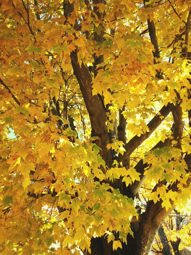 The tree in our front yard is always the most vibrant tree on the block during Autumn. First Eyeem Photo Autumn Leaves l Fall Beauty Trees Yellow Leaves Newhampshire Newengland