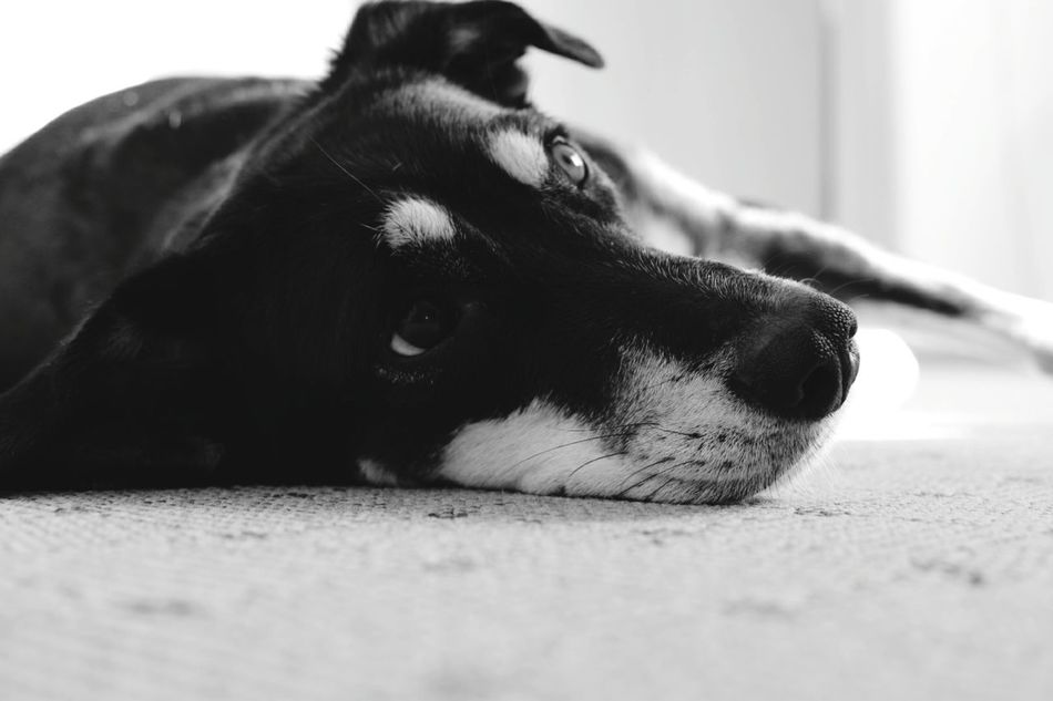 Pets One Animal Dog Domestic Animals Animal Themes Relaxation Animal Head  Mammal Black Color No People Close-up Blackandwhite Black And White Black & White Blackandwhite Photography Black And White Photography Black&white Blackandwhitephotography