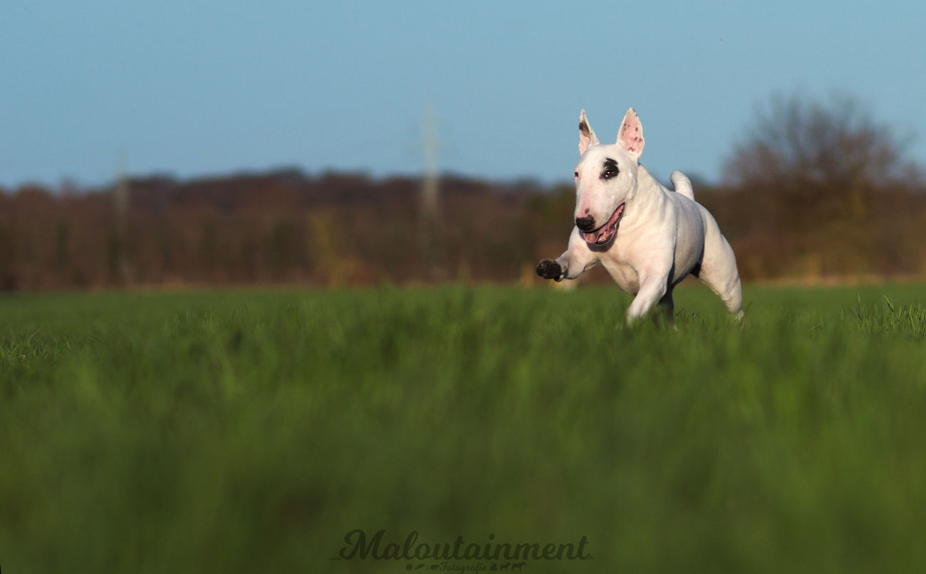 Dog Pets Animal Grass One Animal Domestic Animals Cheerful Happiness No People Outdoors Sky Nature Hundefotografie Dog Photography Purebred Dog Hunde Dogs Bullterrier Bullterrier Love Run Rennen Running Dog Celle Hannover
