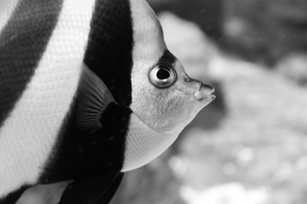 Close-Up Of Striped Fish Swimming In Water At Aquarium