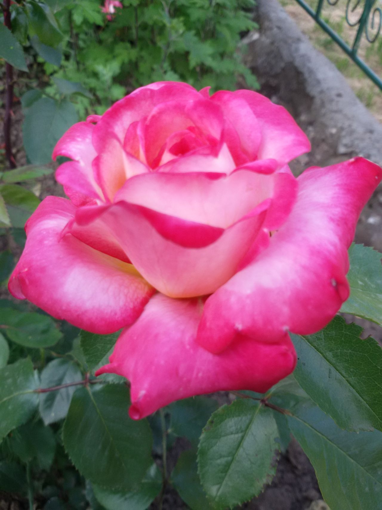 Beautifulrose Frommygarden Rosé Roses Roseflower Flower Bulgarian Rose FlowerpornFlower Flower Collection Rose🌹 Flower Fragility Freshness Petal Close-up Flower Head Growth Pink Color Beauty In Nature Rose - Flower Single Flower Nature Plant Stem