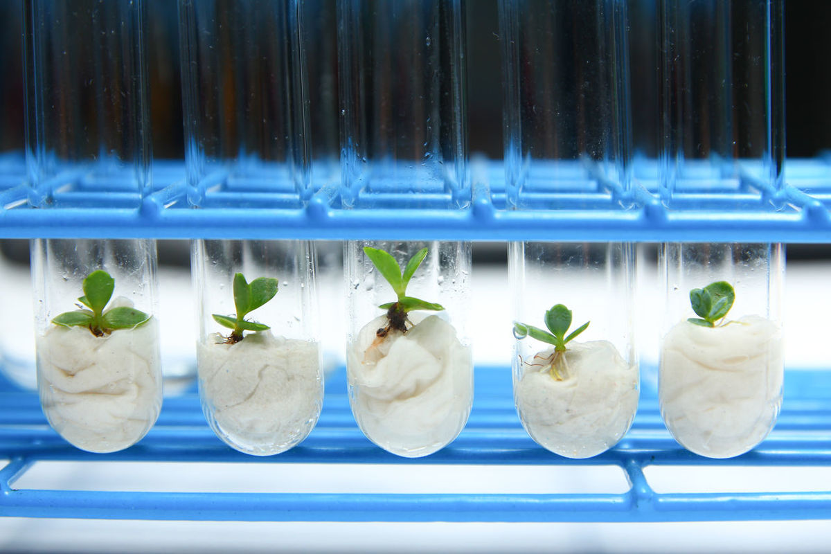 Biotechnology of test tube grown plants Agriculture Biology BioTech Biotechnology Clone Experiment Experimental Growth Lab Laboratory Life Life Science Plant Research Science Technology Test Tube