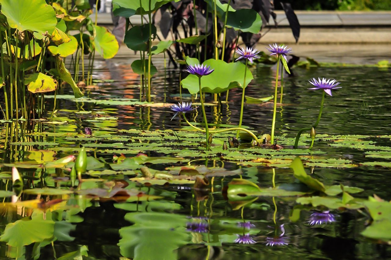 Learn & Shoot: Layering Summer Views Water Lilies. Lilly Pads. Walking Around Taking Photos Water Reflections Eye4photography  Sunny Day @ Bethesda Fountain Central Park - NYC