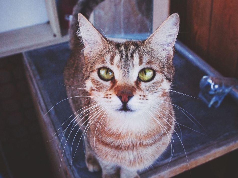 My Cat My Cat Mirana I Love My Cat Catoftheday кошка Gatto Cats котики Cat Eyes Animals