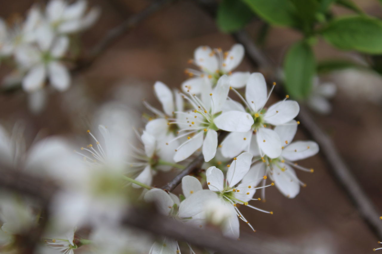 flower, white color, nature, fragility, growth, beauty in nature, blossom, apple blossom, selective focus, freshness, petal, no people, springtime, tree, plant, close-up, day, outdoors, blooming, branch, flower head