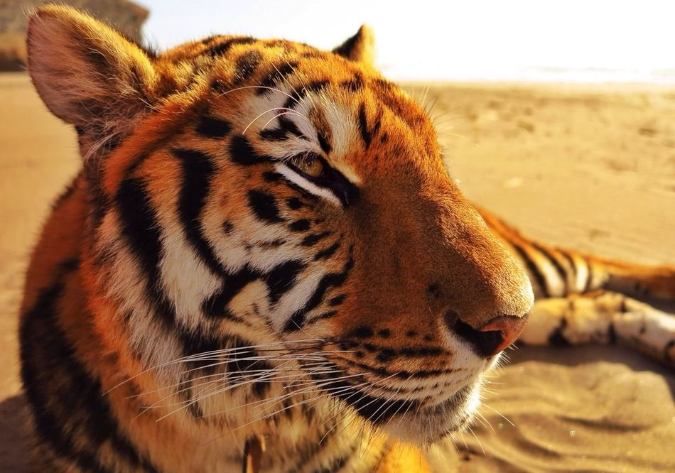 Beautiful stock photos of tiger, Animal Head, Animal Themes, Animals In The Wild, Captive Animals
