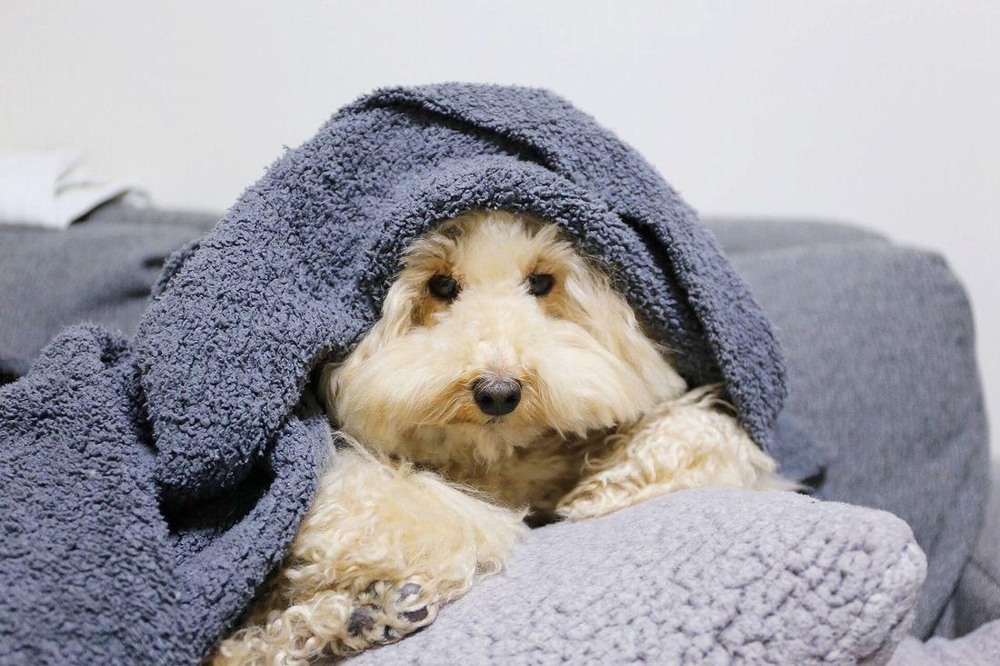 DogLove I Love My Dog My Toypoodle Toypoodle Cute Pets Poodle Love Enjoying Life Pet Cutedogs Dog