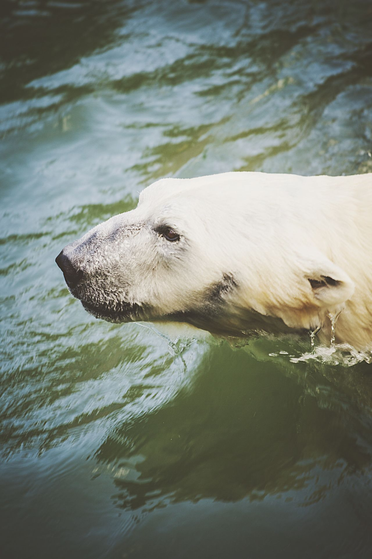 Beautiful stock photos of polar bear, Animal Themes, Animals In The Wild, Bear, Carnivora