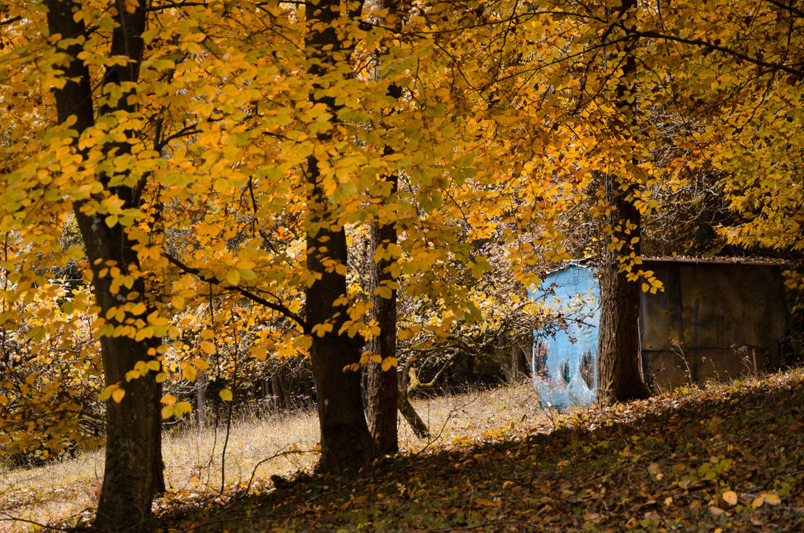 Autumn Beauty In Nature Blue Color Branch Cabin Change Day Grass Growth Home House Leaf Nature No People Outdoors Scenics Tranquil Scene Tree Tree Trunk Yellow