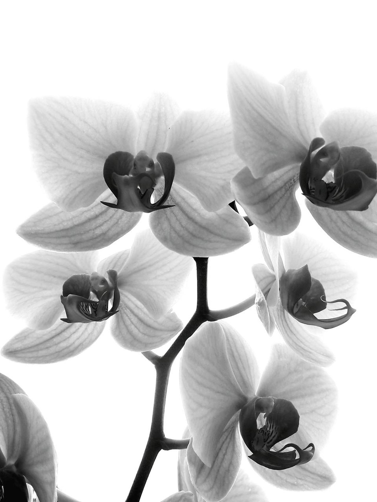 Flower Fragility Beauty In Nature Nature Blossom Flower Head Close-up Orchid Orchid Blossoms Black & White B&w