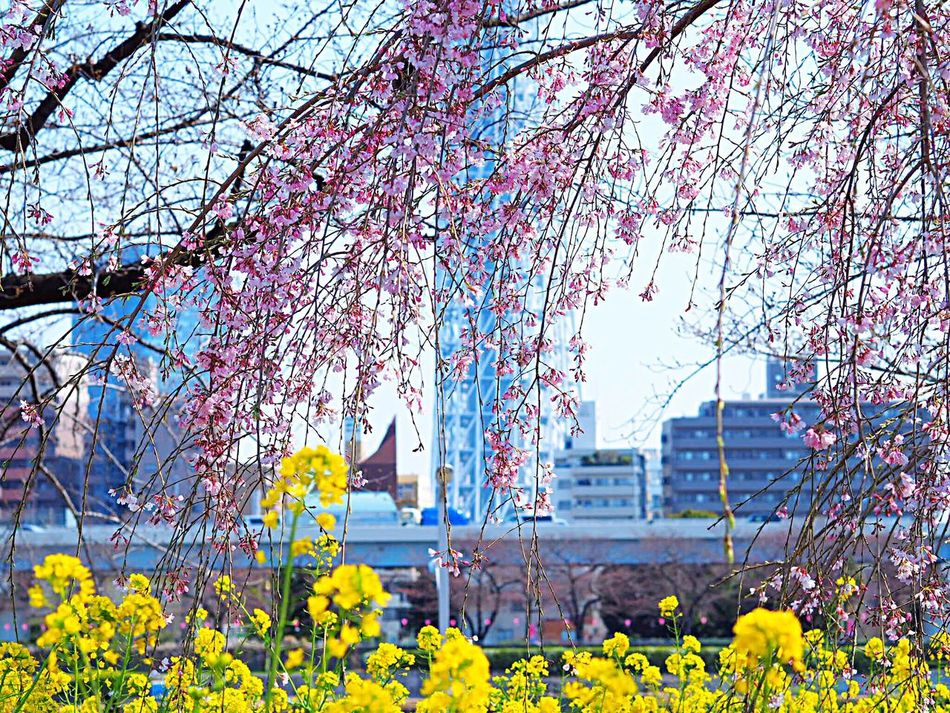 Millennial Pink Pink Flower Pink Color Flower Nature Beauty In Nature Growth Blossom Springtime Sky Cherry Blossoms Cherry Tree 桜 Canola Flowers 菜の花 Tokyoskytree Skytree 東京スカイツリー Japanese Landscape Japanese Photography Asakusa Asakusa,tokyo,japan Tokyo,Japan Olympus Om-d E-m10