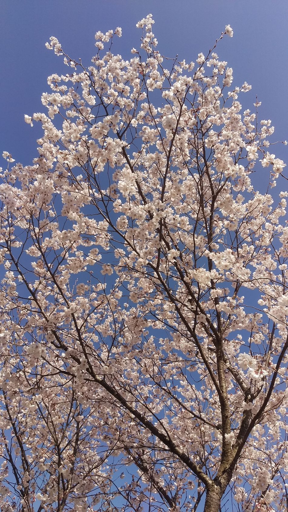 桜開花 桜 開花 快晴 青空 Blue Sky Fine Day Fine Weather Japan Photos Flower Cherry Blossoms Flower Collection Cherry Blossam Collection Spring