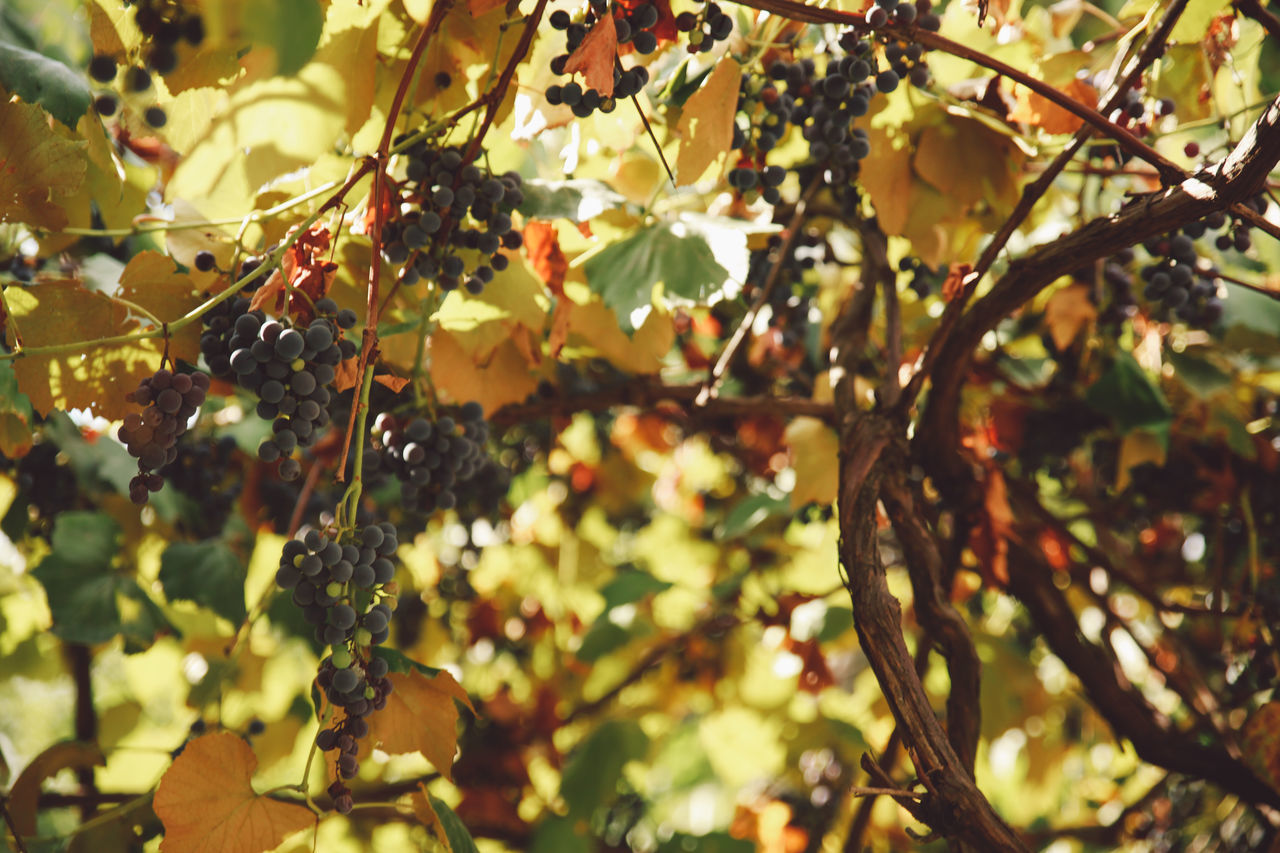 Agriculture Autumn Autumn Beauty In Nature Branch Close-up Day Freshness Fruit Grapes Growth Leaf Low Angle View Nature No People Outdoors Sunlight Tree Vine Vineyard