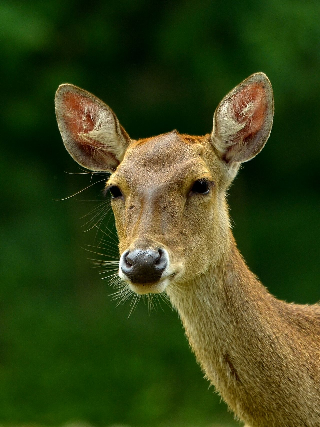Animal Photography Deer Animal Portrait Mamalia