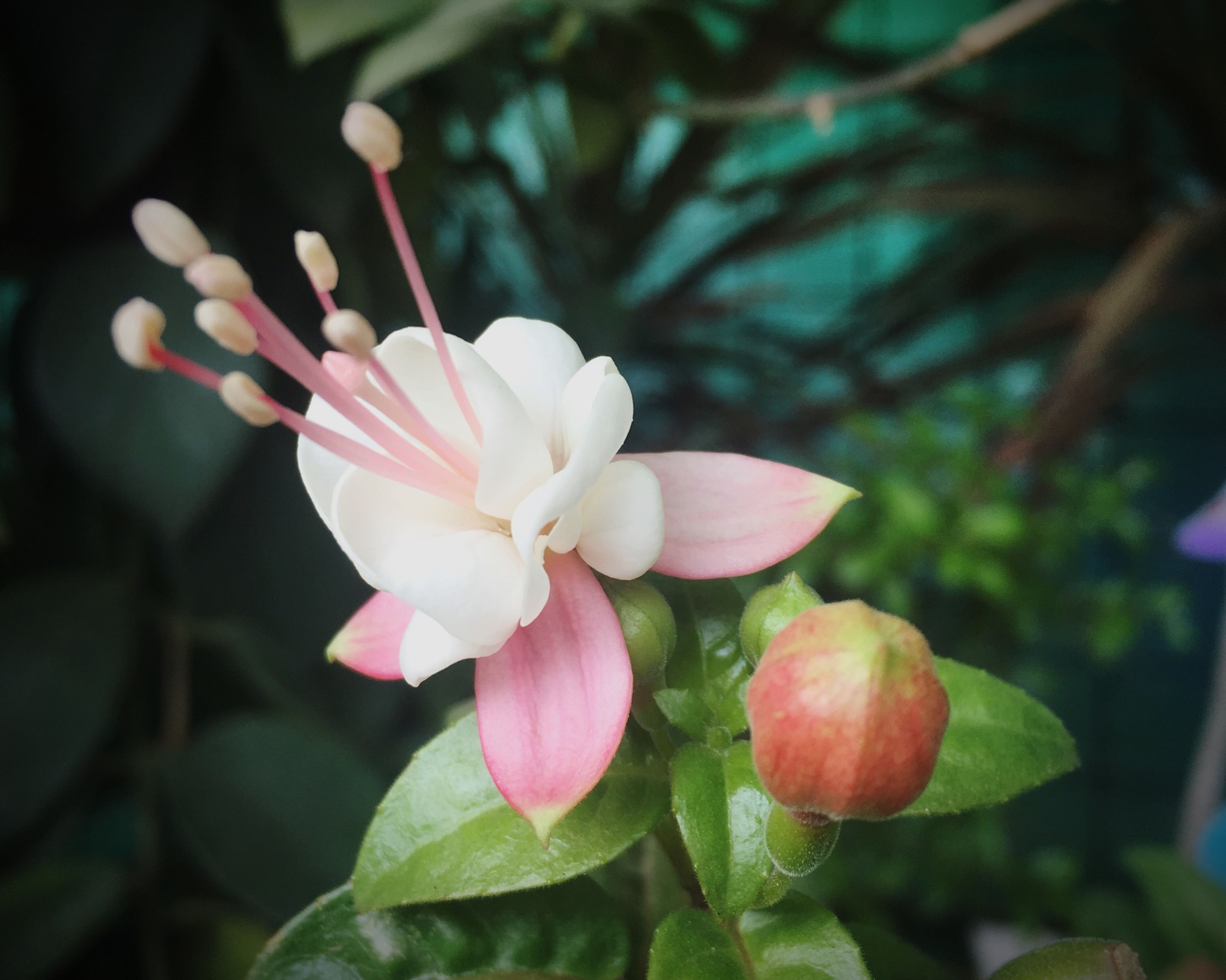 flower, freshness, fragility, growth, close-up, petal, beauty in nature, pink color, focus on foreground, springtime, nature, flower head, in bloom, blossom, botany, plant, day, outdoors, growing, blooming, no people