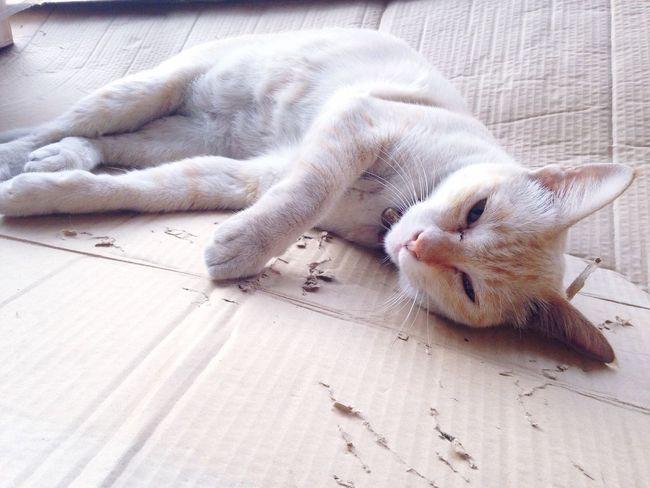 Silly cat White Cat Silly Naughty Thai Street Cat Sleepy On Paper Thai Female Cat Day Sleep After Lunch