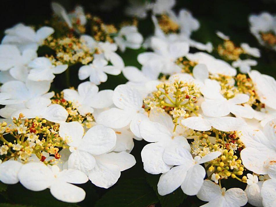 White Blanket Flower Collection Flowerlovers