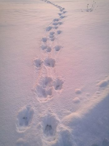 Fresh Moose tracks in the snow early in the morning Winter Track - Imprint Paw Print Animal Track No People Nature Snow Cold Temperature Beauty In Nature Outdoors
