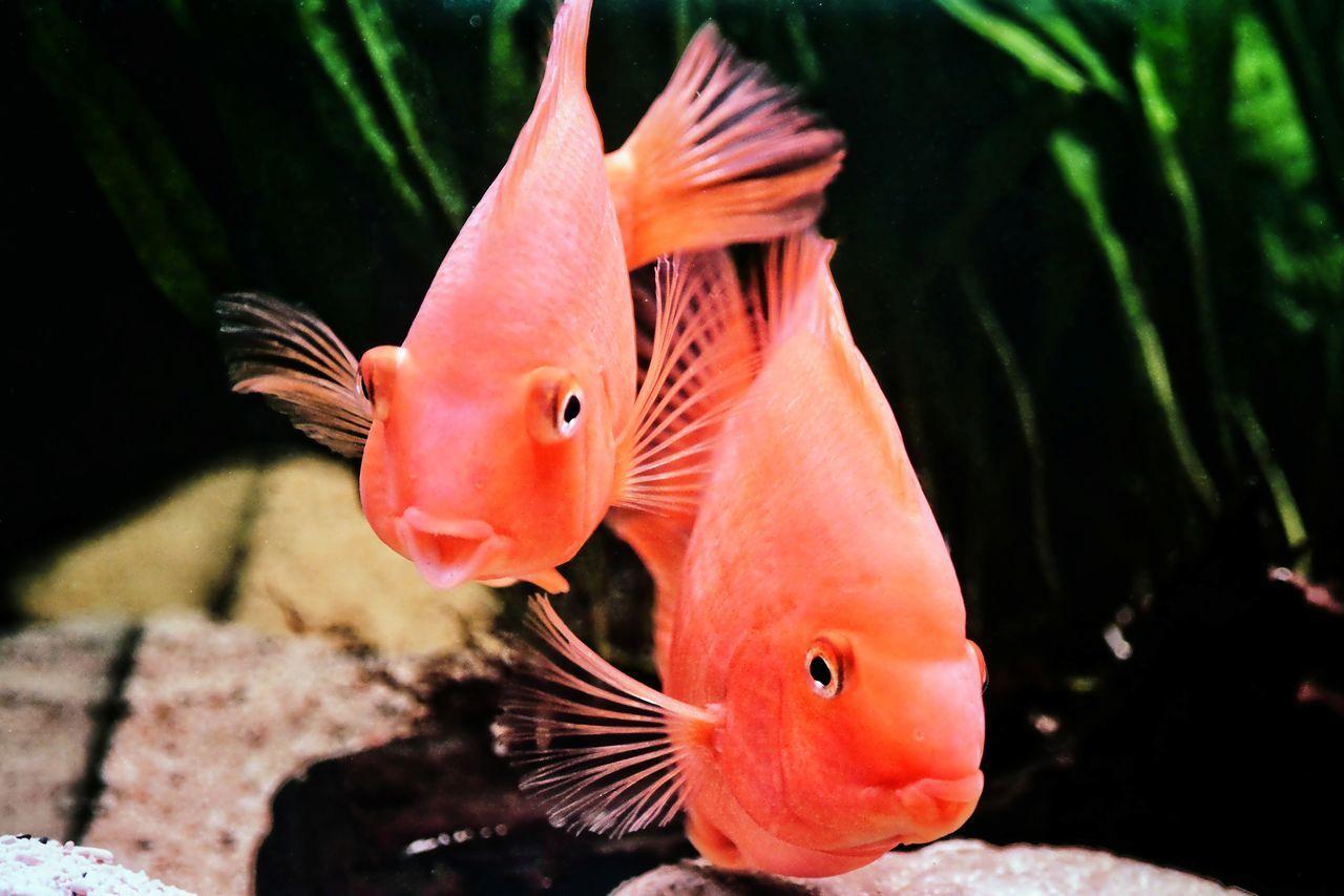 Blood Red Parrot Cichlids Parrotfish Aquarium Photography Aquariumlife Aquarium Cichlids Nikon D7100 Brightred