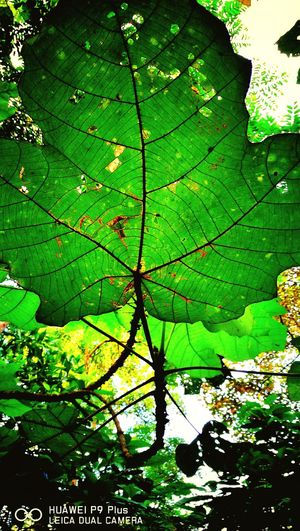 Leaf Green Color Backgrounds Nature Leaf Vein Full Frame Growth Beauty In Nature Outdoors Tree Scenics Day Tranquility Low Angle View Landscape Close-up HuaweiP9plus Captureonp9 Leicatechnology Mobilephotography Huaweimobilemy Huaweimobile Mobilephographer Beauty In Nature Leaf 🍂