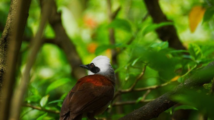 Bird Animals In The Wild Animal Themes One Animal Animal Wildlife Tree Nature Focus On Foreground Perching Day Branch No People Beauty In Nature Outdoors Close-up White Crested Laughing Thrushes White Crested Laughing Thrushes