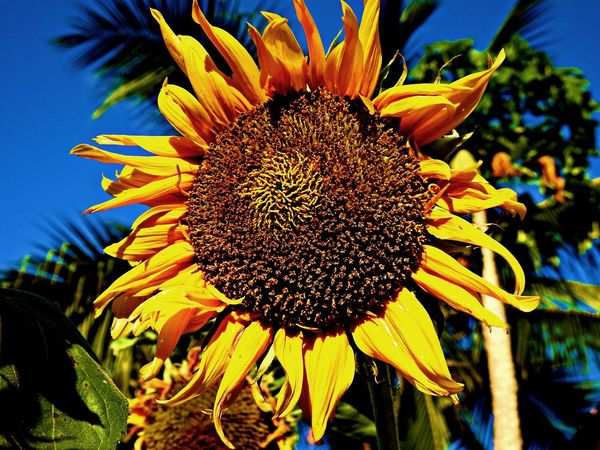 Yellow Flower Beauty In Nature Blooming Close-up Coneflower Day Flower Flower Head Fragility Freshness Growth Helianthus Nature No People Outdoors Petal Plant Pollen Star Flower Sunflower Yellow