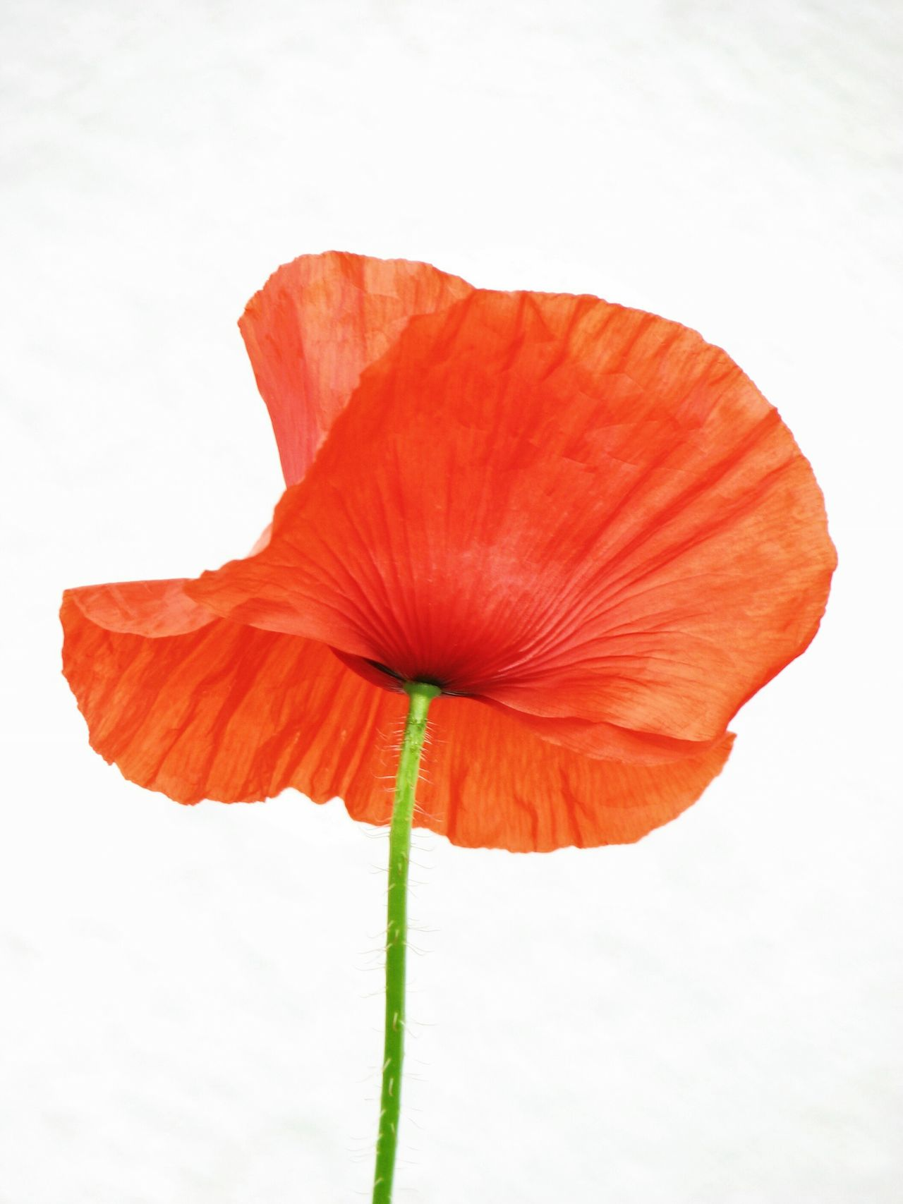 Poppyhaven 2. Poppy Poppy Flowers Poppies  Flower Collection Viewpoint Unusual View Nature On Your Doorstep Nature_collection Nature Photography Wild Flowers Poppy Love Red Poppy White Background Single Flower