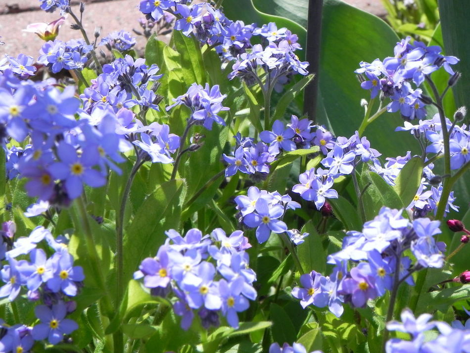 Forget Me Not Flowers Blue And Green Flower Growth Fragility Nature Beauty In Nature Day Outdoors No People Green Color Freshness Blooming Plant