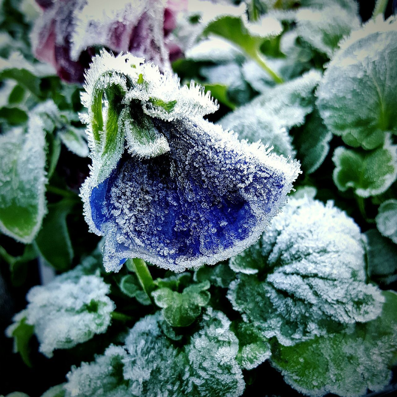 Beauty of winter Nature Growth Plant Beauty In Nature Flower Outdoors Close-up No People Cold Temperature Fragility Day Flower Head Freshness Wintertime Frosted Nature Outdoors Pansy