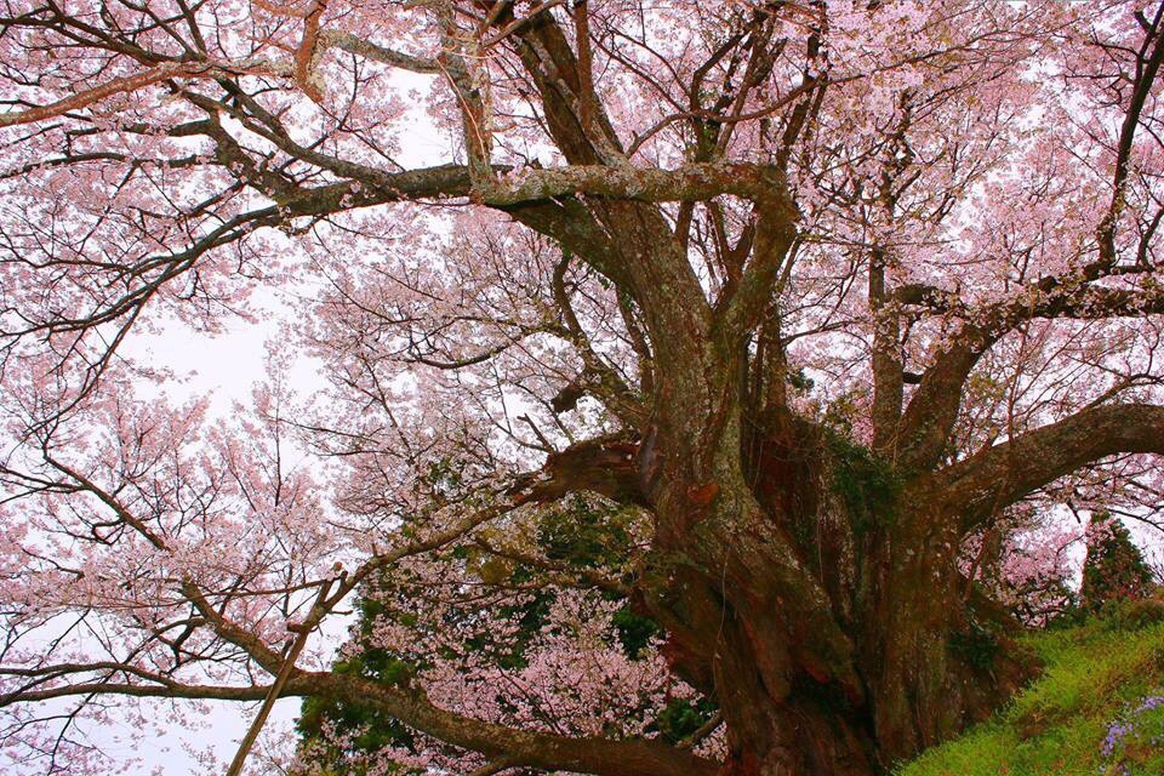 仏隆寺の千年桜🌸 Blossom Beauty In Nature