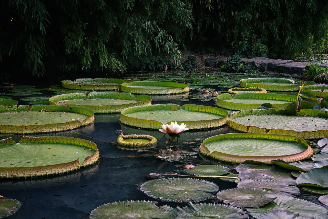 Water Lilies Beauty In Nature Floating On Water Flower Fragility Grass Green Green Color Growing Leaf Leaves Lotus Water Lily Nature No People Outdoors Park Park - Man Made Space Plant Pond Scenics Tranquil Scene Tranquility Water Water Lilies. Lilly Pads. Water Lily