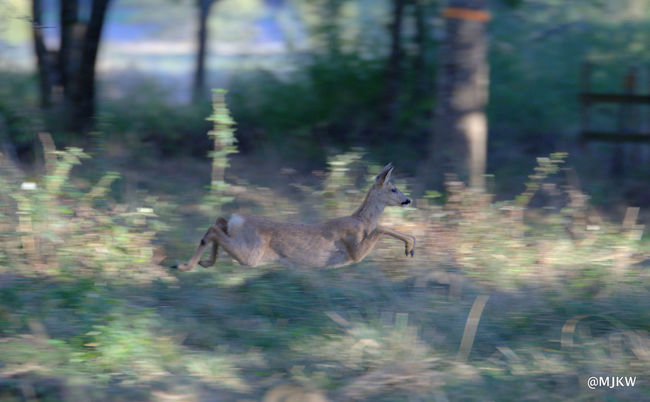 Animals In The Wild Deer Moments Flying Forest Nature Roe Deer Running Wildlife