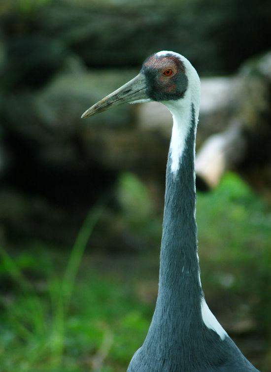 Crane Crane Bird Crane Birds Juvinile Sandhill Crane Sandhill Cranes Sandhillcrane Sandhillcranes