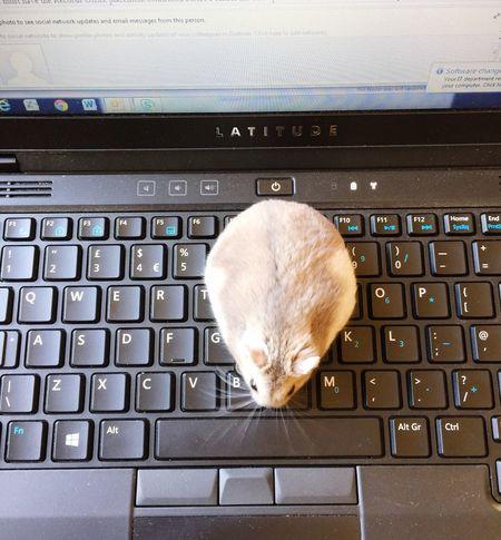 Laptop Hamster Love