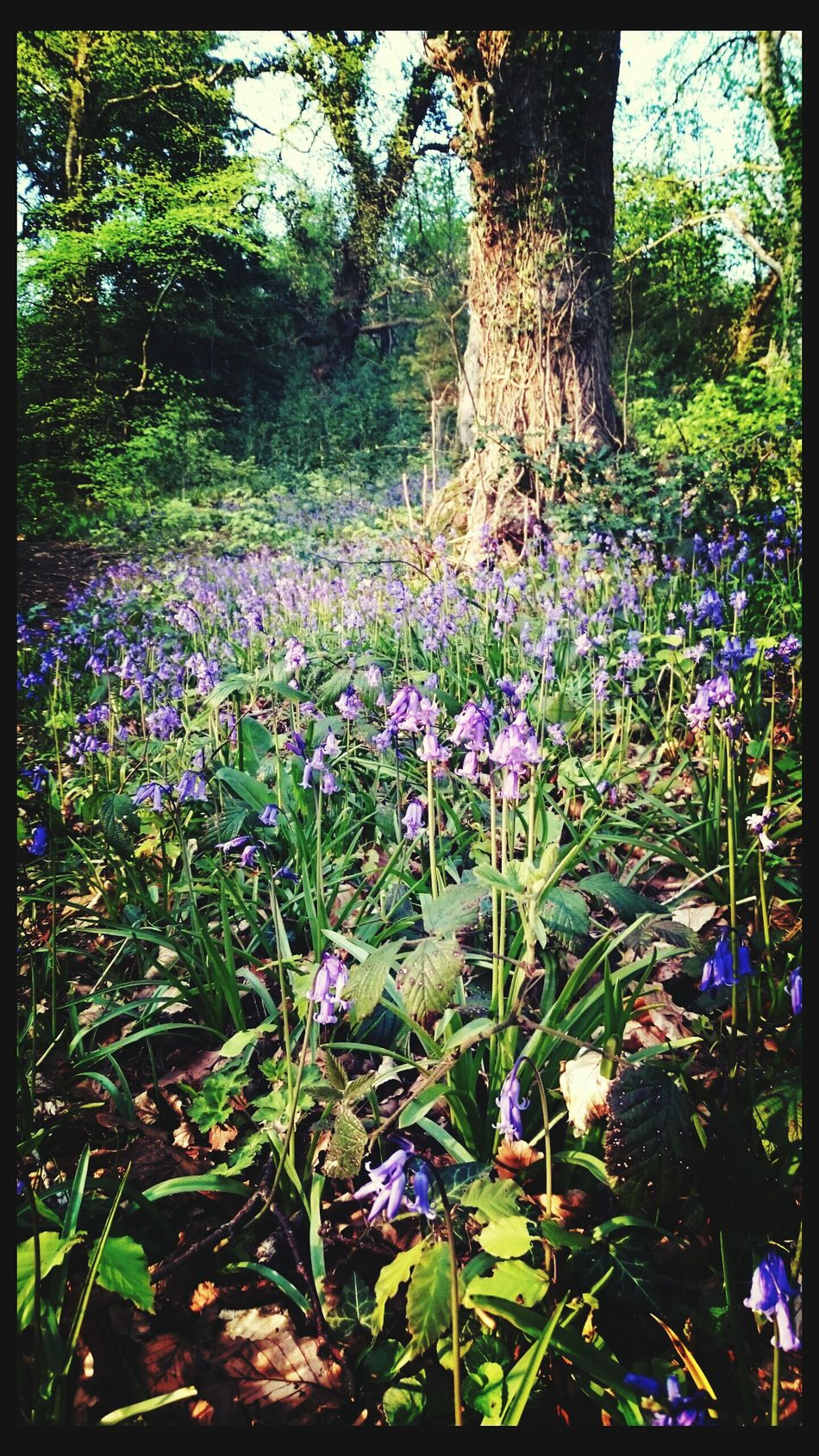 Bluebell forest wood fairy Ireland Spring Flowers