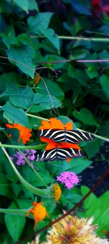 Pattern Pieces Iphoneonly Design Summer Vibrant Colors Streetphotography Black And White Stripes Butterflies Zebra Stripes Zebra Longwing Flowers Garden Friends EyeEm Nature Lover EyeEm IPhone