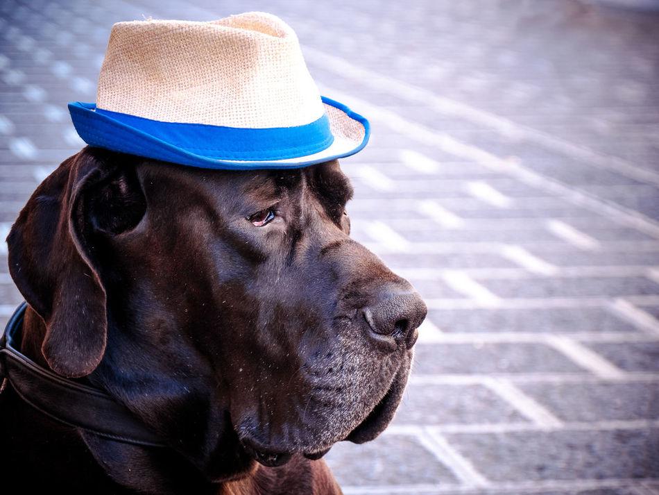 Beautiful stock photos of great dane,  Animal Head,  Animal Themes,  Canine,  Catania