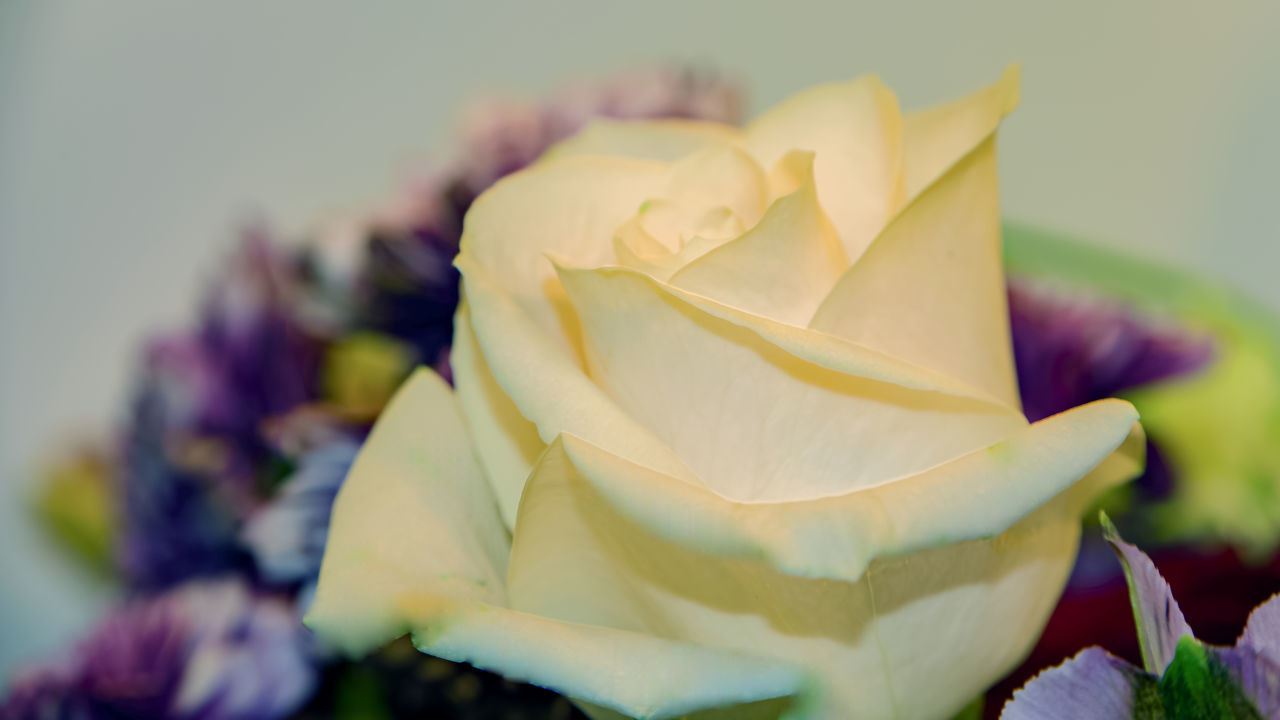 The winter white rose Breathtaking_beauty Breathtaking Rose Petals Close Up Closeup Flowerhead Flower Bloom Close-up Single Rose Bud Snowy Rose Flower In Bloom White Rosebud Beauty In Nature Blooming Close-up Day Flower Flower Head Fragility Freshness Nature No People Outdoors Petal Plant Rose - Flower