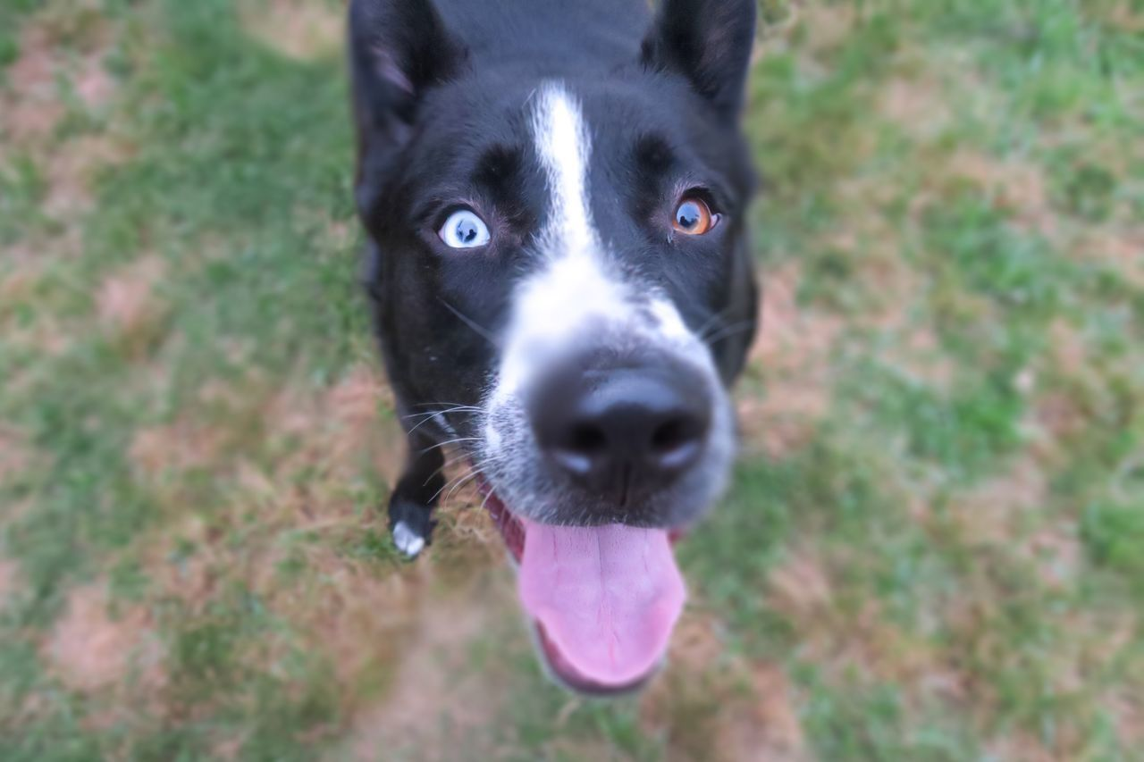 Found On The Roll Siberian Husky Black And White Dog Black And White Dogs Pet Lover Petslife Humans And Dogs Love Pets Pet Dog  I Love You Human 1 Year Old Dogs